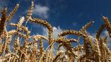 Знания о геноме пшеницы помогут вывести новые виды