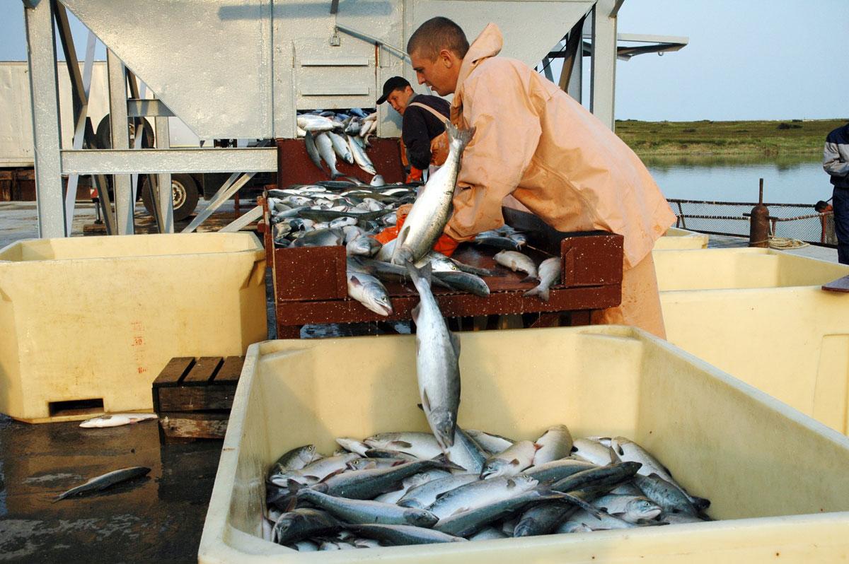 На Камчатке бьют рекорды вылова лососевых