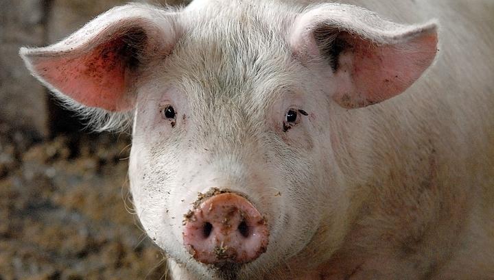 В Литве из-за вспышки АЧС уничтожат 20 тысяч свиней