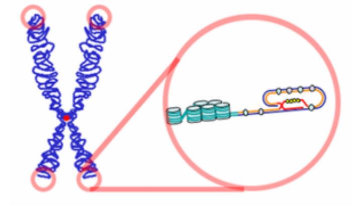 От длины теломер зависит продолжительность жизни