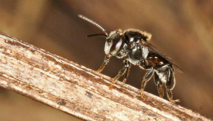 У этого вида австралийских пчёл нет жала