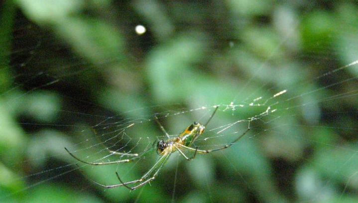 Самка паука вида Leucauge mariana - весьма придирчивая к щекотанию особа