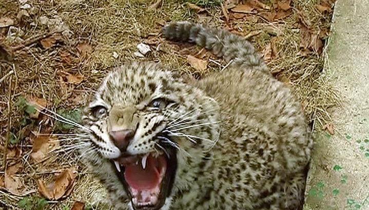 В национальном парке в Приморье появился новый котенок леопарда
