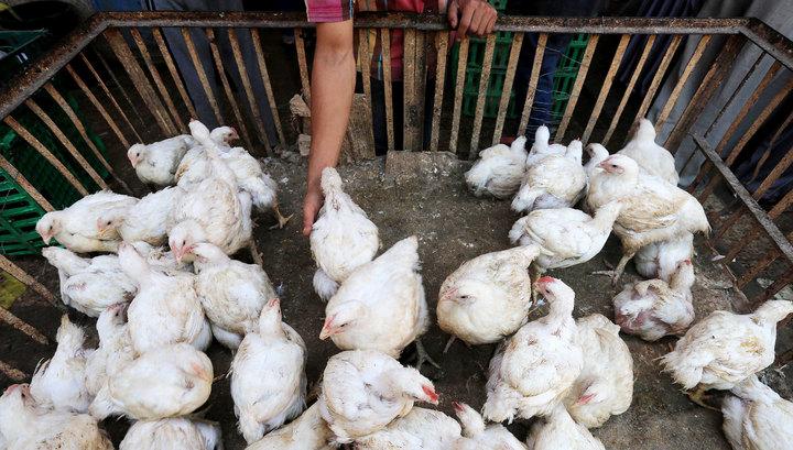 В личном подсобном хозяйстве Нижегородской области выявлен птичий грипп