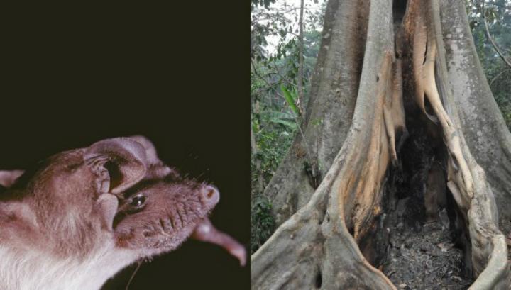 Колония летучих мышей вида Mops condylurus обитала в высохшем дереве в Мелианду (Гвинея)