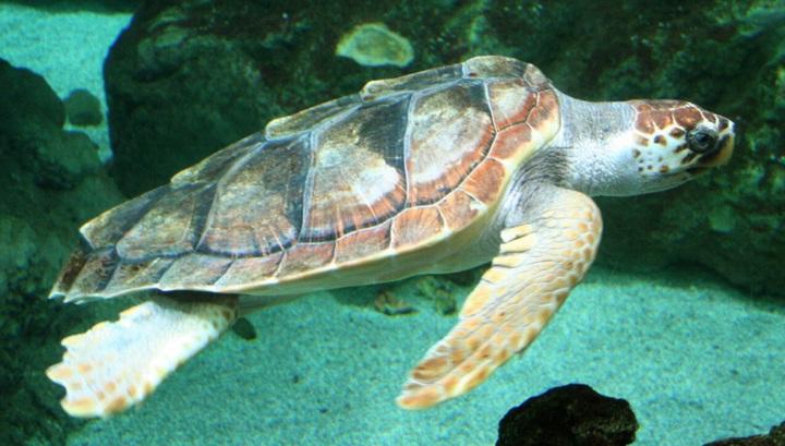 Головастая черепаха использует геомагнитное поле для навигации и последующего выбора места для кладки яиц