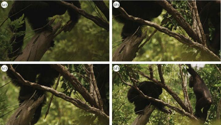 На фотографиях отражён эпизод охоты самца шимпанзе на галаго с помощью его примитивно обработанного оружия. За ходом поимки наблюдает самец-подросток