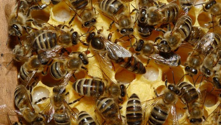 Пчелиные матки начали умирать особенно активно в летний период