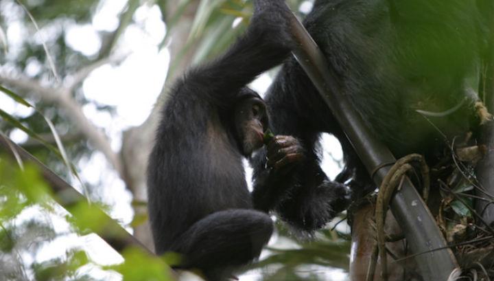 Шимпанзе пьёт пальмовое вино при помощи свёрнутого в форме чаши листа