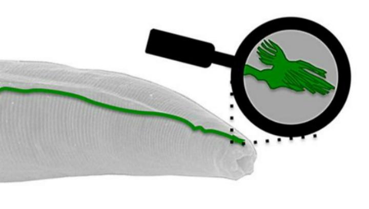 """Исследователи обнаружили у круглого червя органический """"датчик"""", позволяющий чувствовать магнитное поле Земли"""