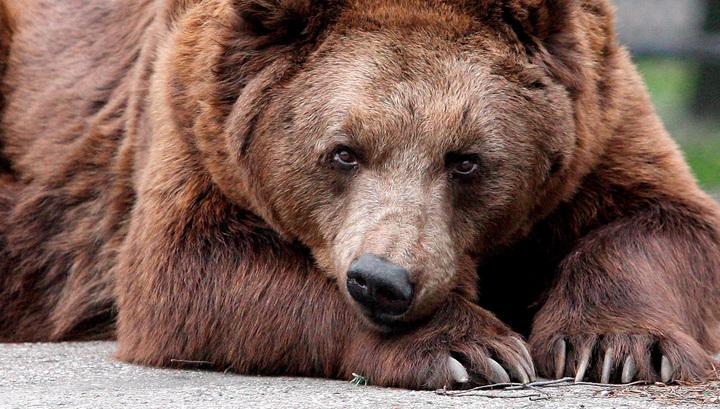 В Якутии ищут живодеров, снявших расправу над медведем на видео