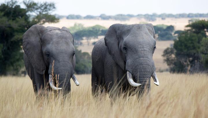 В Замбии слон затоптал двух туристов из Европы