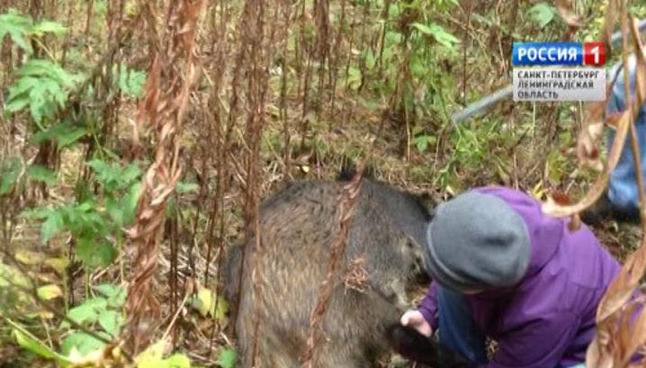 ловим живого кабана