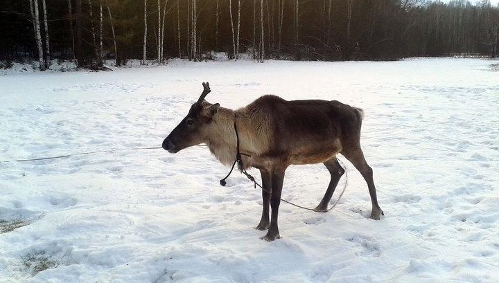 Из резиденции Деда Мороза украли оленя по кличке Бугор