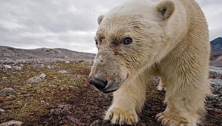 Стало известно, что сделают с медведями, оккупировавшими Новую Землю