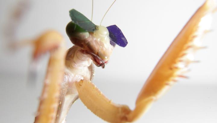 Вести.Ru: Учёные надели на богомолов 3D-очки, чтобы изучить их зрение