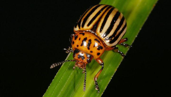 Учёные уверяют, что разработанный способ безопасен для человека, но смертелен для насекомого