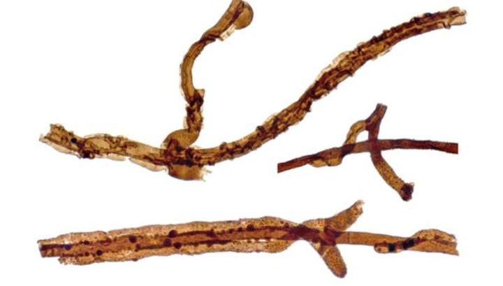 Нитевидный гриб рода Tortotubus