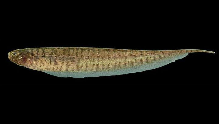 Ножетелка B. pinnicaudatus обманывает сородичей и не краснеет