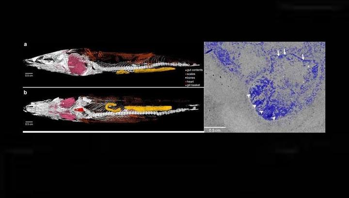 Изображение древней рыбы Rhacolepis buccalis с использованием синхротронной томографии