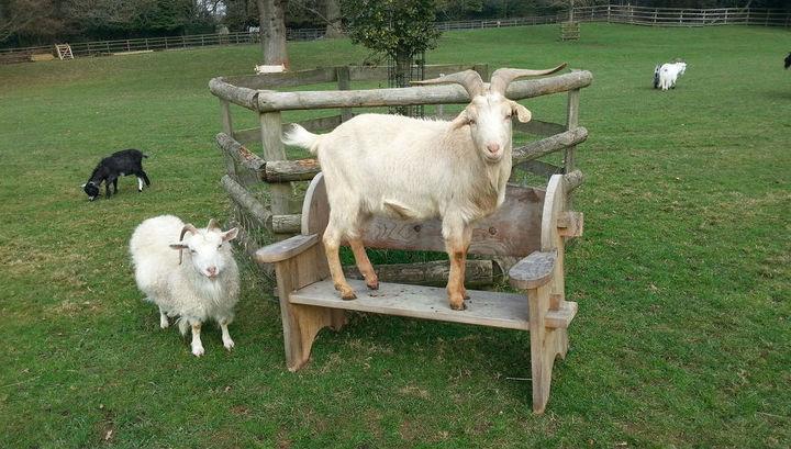 Эксперимент показал, что козы посредством пристального взгляда дают человеку понять, что им нужна помощь.