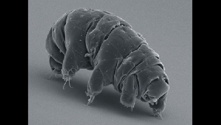 Тихоходка под микроскопом.