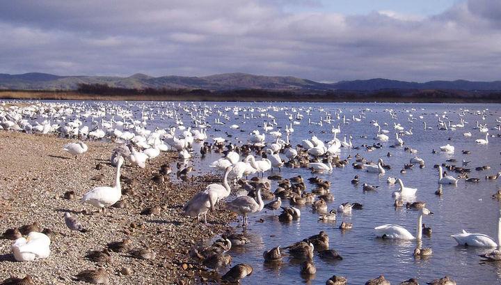 Тундровые лебеди и другие дикие птицы на озере Хоккайдо, Япония.