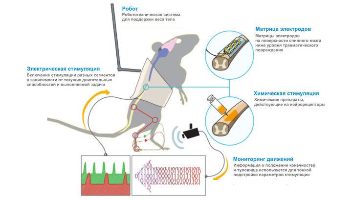 Петербургские нейрофизиологи побороли паралич у крыс при помощи стимуляции спинного мозга