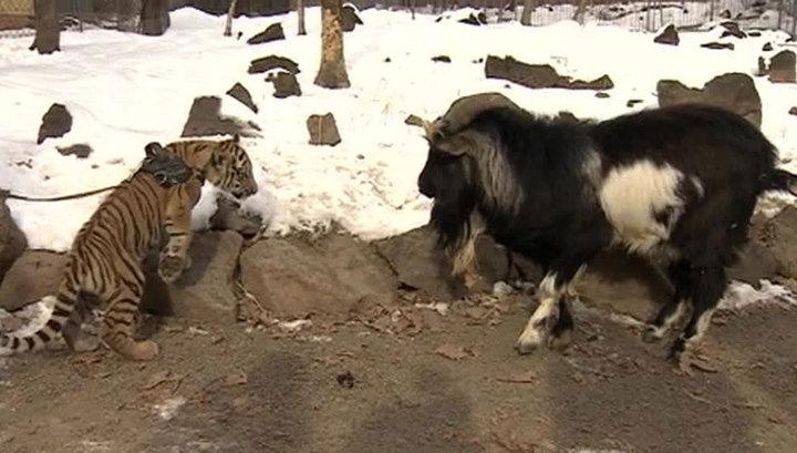 Сын тигра Амура познакомился с Тимуром и подружился с собакой