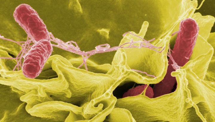 Метод борьбы с опасной опухолью при помощи сальмонеллы опробован на мышах. Но через несколько лет учёные обещают приступить к клиническим испытаниям.