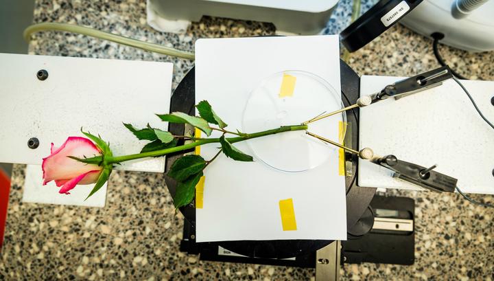 Цветы-киборги: инженеры превратили розу в накопитель энергии