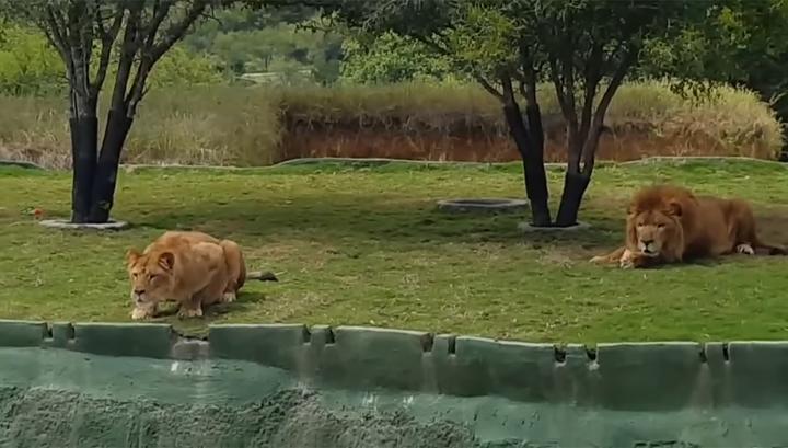 Львицы случайный секс