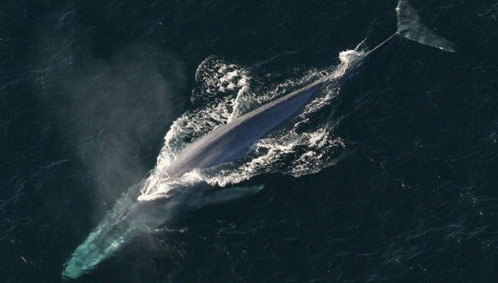 Синий кит - самое крупное существо из когда-либо обитавших на нашей планете.