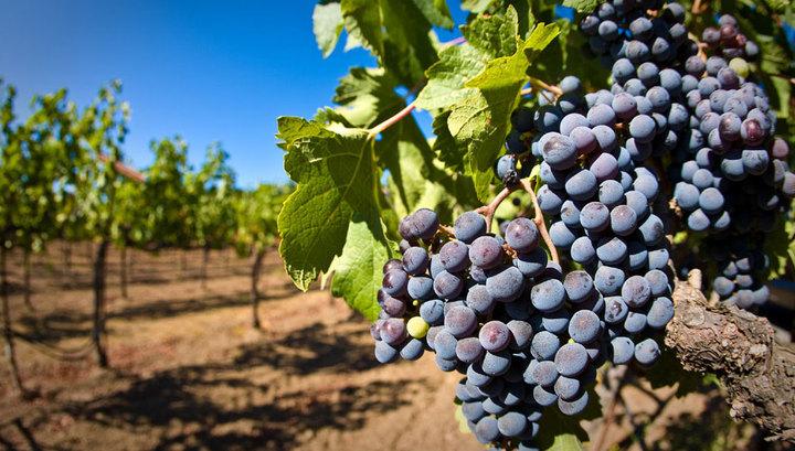 Виноградники секс
