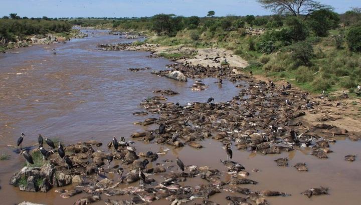 Тысячи гну ежегодно тонут в ходе массовых миграций, подпитывая экосистему реки Мара.