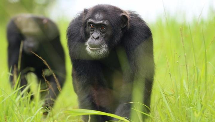 Силу шимпанзе оценили и сравнили с человеческой.