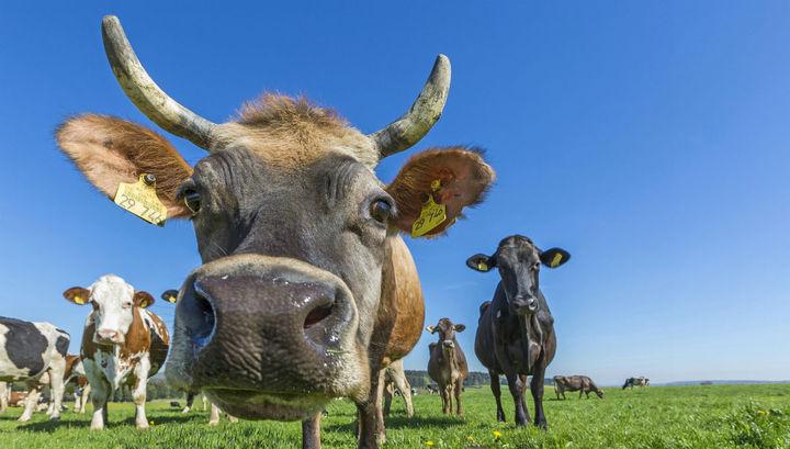 Власти Швеции отстаивают право коров купаться на нудистских пляжах