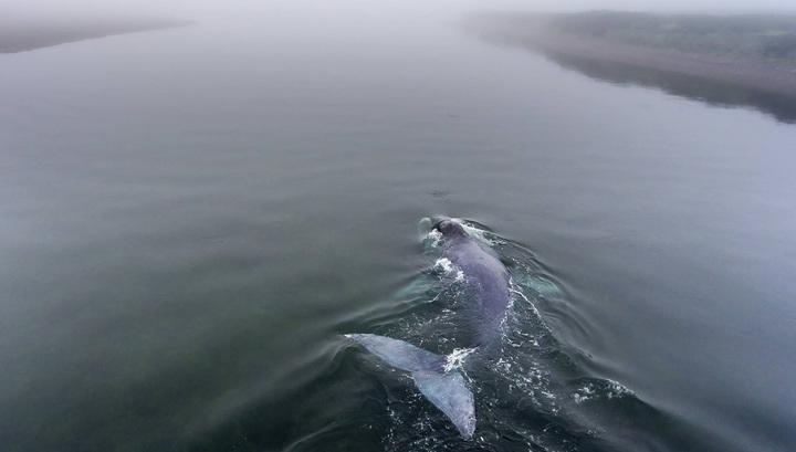 Застрявший в Хабаровском крае кит освобожден
