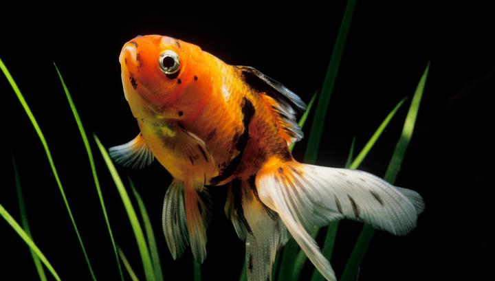 Золотые рыбки выживают зимой при помощи спирта