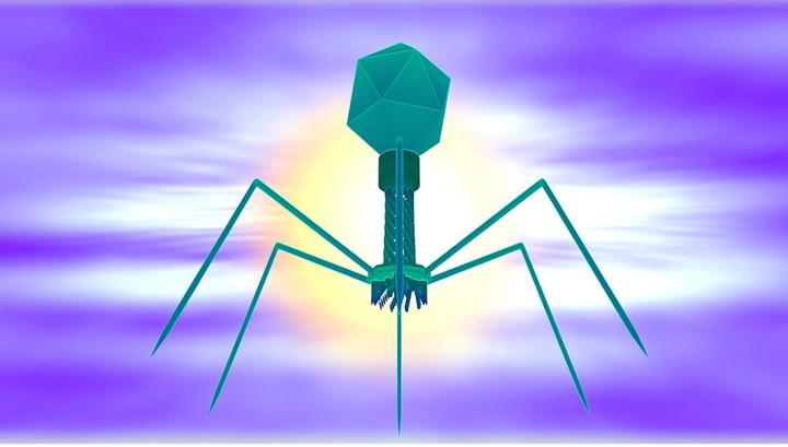Бактериофаги — это вирусы, которые уничтожают бактерии, но не заражают клетки человека.