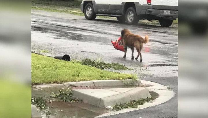 """Находчивый пес, спасающийся от урагана """"Харви"""", стал героем Интернета"""