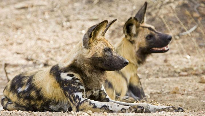 Системы голосования есть и в мире животных, и порой весьма необычные.