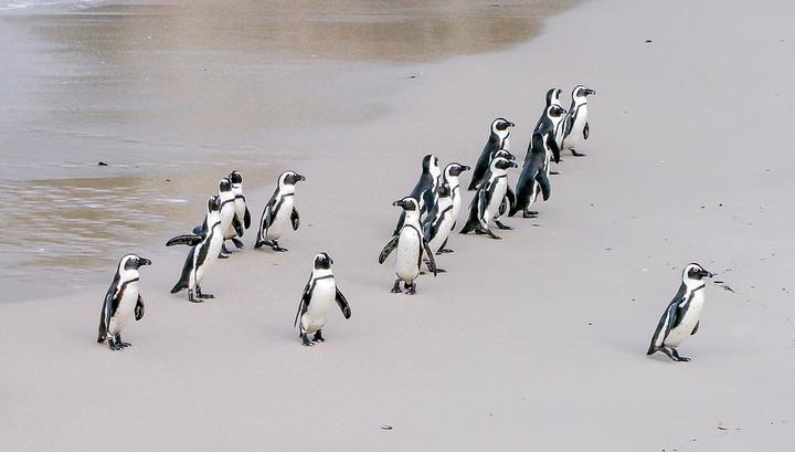 Пингвины повышают эффективность охоты, объединяясь в группы.