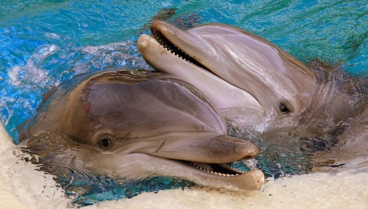 Член и вагина дельфинов