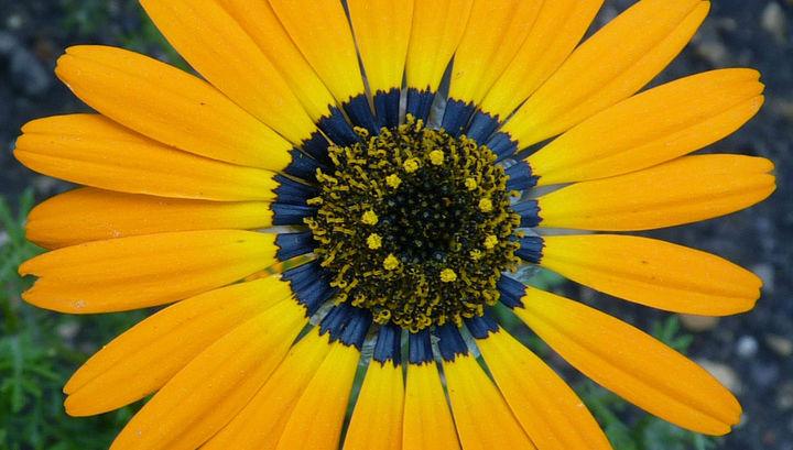 В основании лепестков урсинии Ursinia speciosa содержится синий пигмент. Но видимый пчёлам голубой ореол возникает благодаря особой текстуре лепестков.