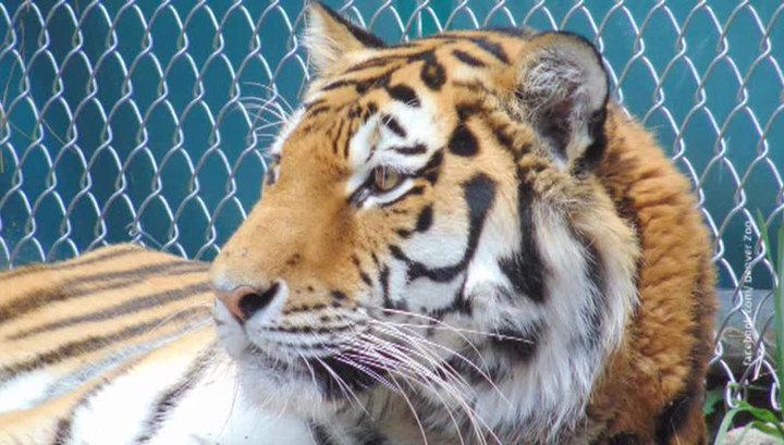 В Приморье тигрица напала на сотрудника WWF
