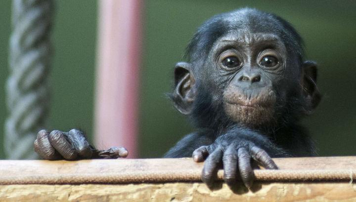 Бонобо невероятно добры, даже к незнакомцам.