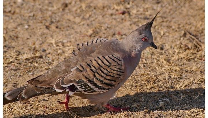 В случае угрозы хохлатые бронзовокрылые голуби не только быстро скроются от опасности, но и предложат собратьям последовать их примеру.