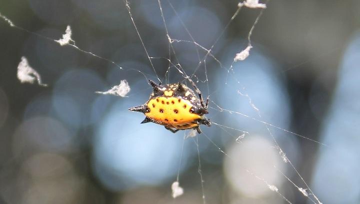 Паук вида Gasteracantha cancriformis, для которого сутки длятся 19 часов.