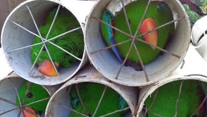 Браконьеры пытались вывезти из Индонезии 125 экзотических птиц в дренажных трубах